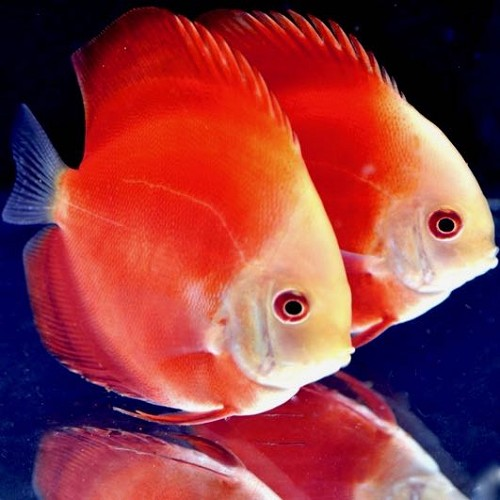 S.discus   Red melon 6-7 cm