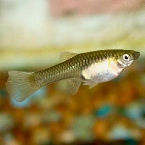 Poecilia wingei female - Guppy femelles endler L