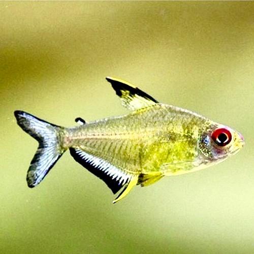 Hyphessobrycon pulchripinnis - Tétra citron M