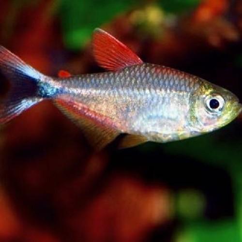 Hyphessobrycon sp.red blue Peru - Tetra rouge bleu Pérou L