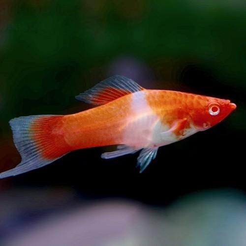Xiphophorus helleri red eye kohaku - Porte épée koi M