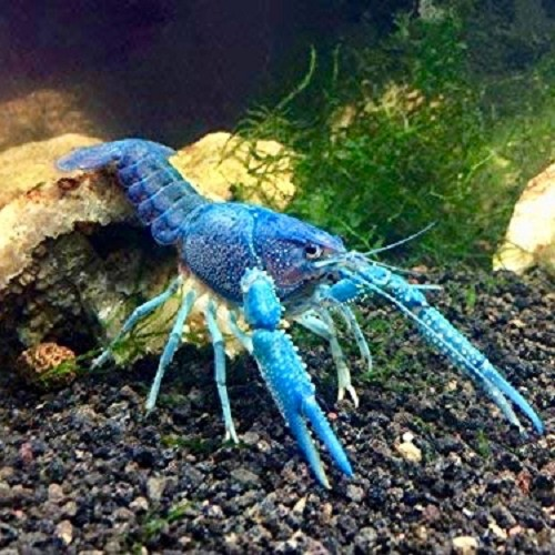 Procambarus specie cobalt - Ecrevisse de louisiane sp. cobalt 5-6 cm