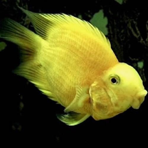 Cichlasoma specie yellow parrot - Cichlasoma perroquet jaune 6-8 cm