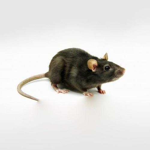 Rat apprivoisé femme