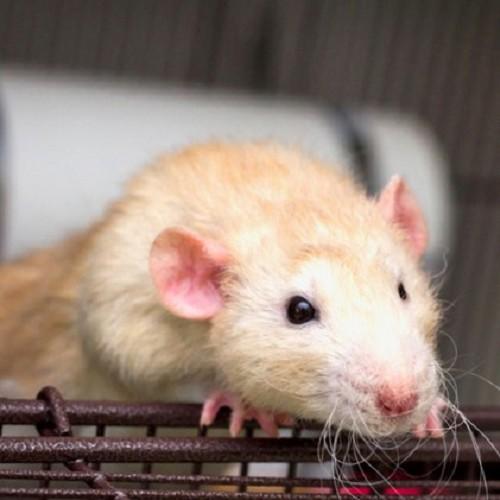 Rat dumbo homme