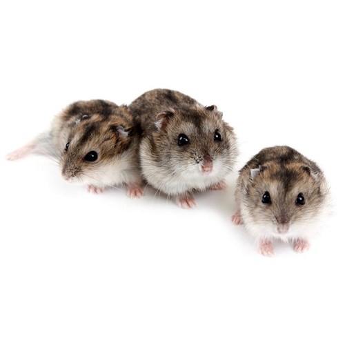 Russe hamster nain femme