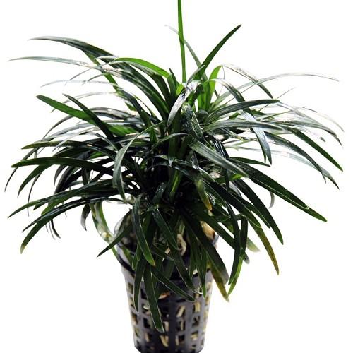 Ophiopogon kyoto en pot