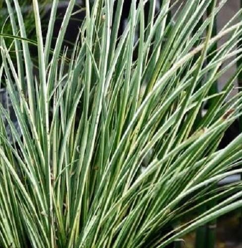 Acorus gramineus variegatus en pot