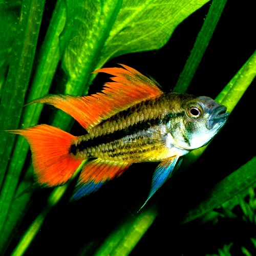 Apistogramma cacatuoides orange - Apisto cacatoès orange ML