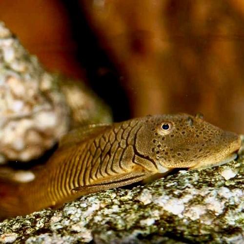 Chaetostoma punctatus L148 L