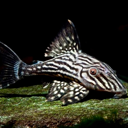 Panaque cf. nigrolineatus L330 15-18 cm