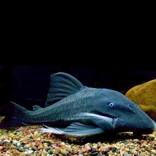 Panaque suttoni   Blauwoog pleco 25 cm