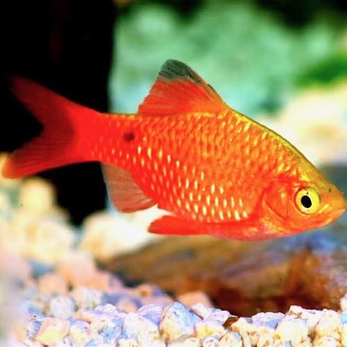 Barbus conchonius gold - Barbus rosé or XL