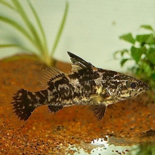 Lates niloticus - Bar Victoria (6-8 cm)