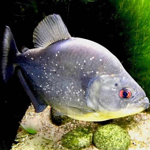 Serrasalmus rhombeus - Piranha noir S
