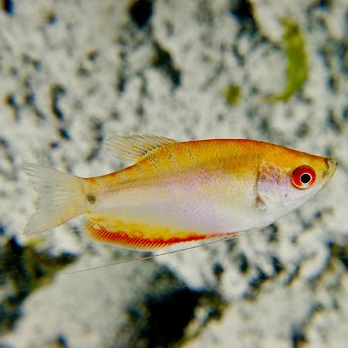 Trich.trichopt.   Goudgourami red eye M