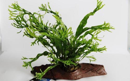 Microsorum (feuilles crispées) sur rocheracine S