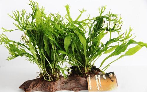 Microsorium crisped leaves stonewood (N)