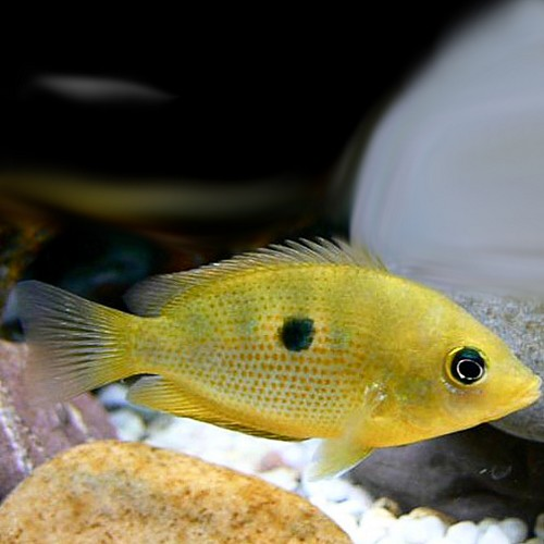 Etroplus maculatus gold - Cichlidé des Indes orange M