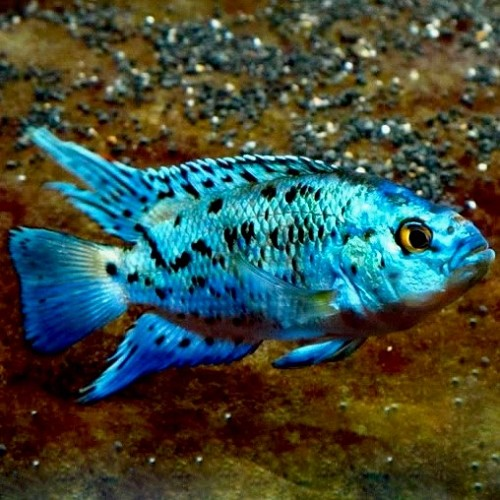 Cichlasoma 'electric blue' jack dempsey 4-5 cm