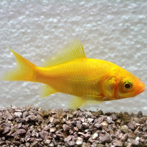 Carassius auratus poisson rouge jaune 4 6 cm for Nom poisson rouge