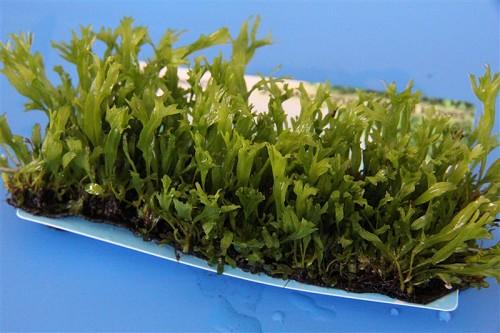 Microsorum (feuilles crispées) epaqmat - Tapis végétal 4 x 13 cm