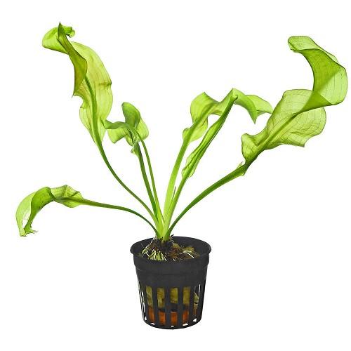 Aponogeton ulvaceus - Feuille de salade en pot