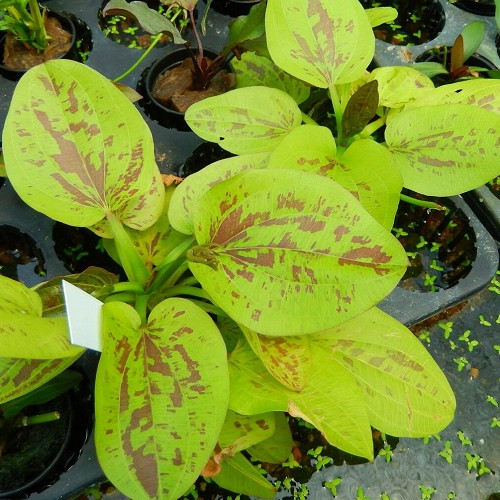 Echinodorus yellow sun en pot