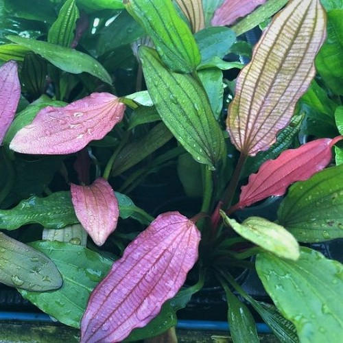 Echinodorus miracle en pot