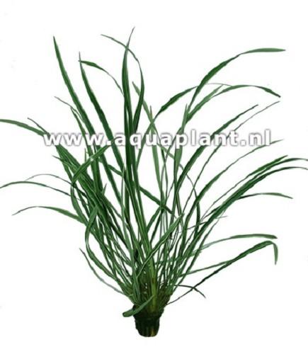 Ophiopogon jaburan en pot