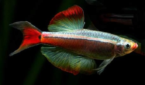 Tanichthys albonubes lyretail - Neon chinois voile L