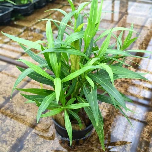 Hygrophile à feuilles de saule