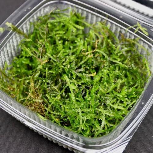 Vesicularia dubyana - Mousse de java gobelet 10x10 cm