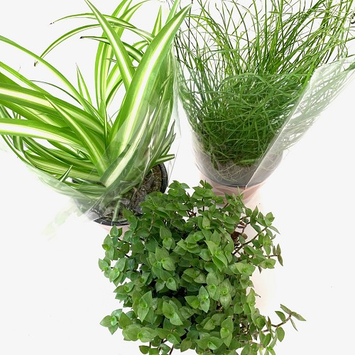 Mix tray kattengras/ knaagdier plant 8st