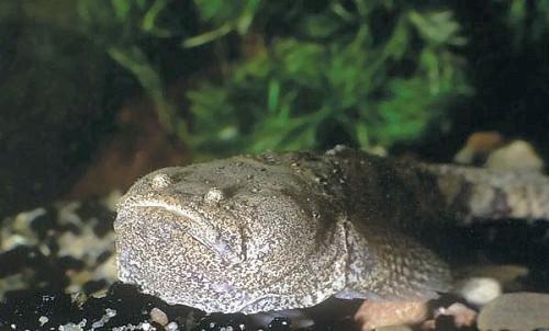 Potamobatrachus trispinosus - Crapaud Du Peru (4cm)