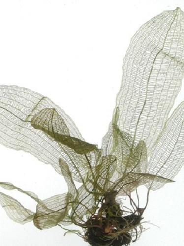 Aponogeton henkelianus avec pot en plastique