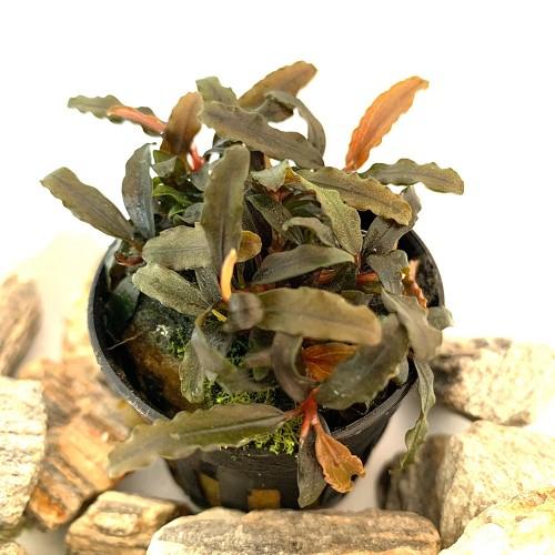 Bucephalandra caterina in pot