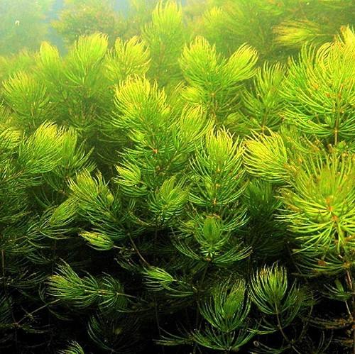 cabomba aquatica avec pot en plastique