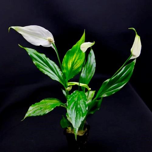 Spathiphyllum wallissi en pot