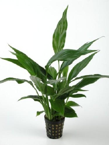 Spathiphyllum pied mère