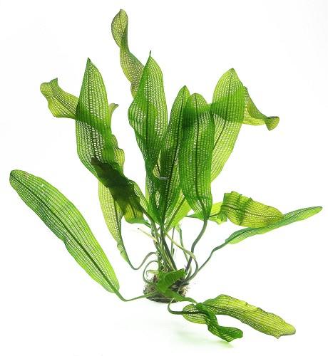 Aponogeton fenestralis (madagascarensis) bulbe de plante